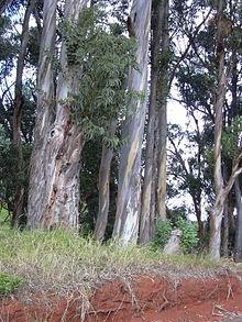 Eucalyptus_globulus-1