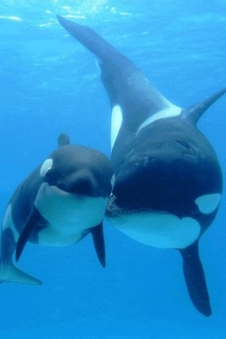 Killer whale, mother and baby